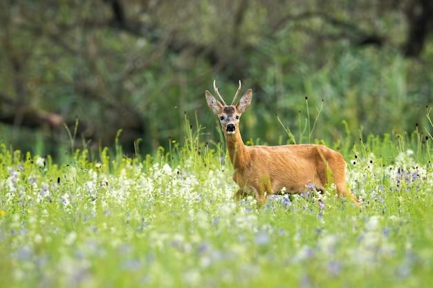 Młody rogacz sarny stojący w wysokiej zielonej trawie i wąchający nosem