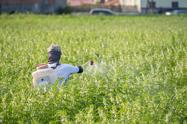 Młody rolnik rozpyla pestycydy (chemikalia rolnicze) na własnym polu sezamu