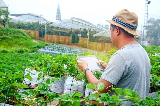 Młody rolnik w kapeluszu sadzenie owoców truskawek na sprzedaż trzymając tabletkę, aby uratować pracę w rolnictwie