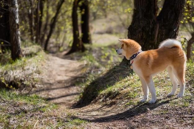 Młody rudowłosy akita inu stoi przy ścieżce w lesie