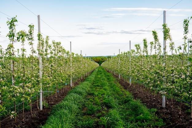 Młody sad jabłoniowy z systemem nawadniania kropelkowego drzew