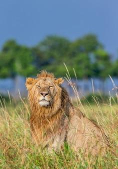 Młody samiec lwa siedzi na trawie na sawannie. park narodowy masai mara. park narodowy serengeti.