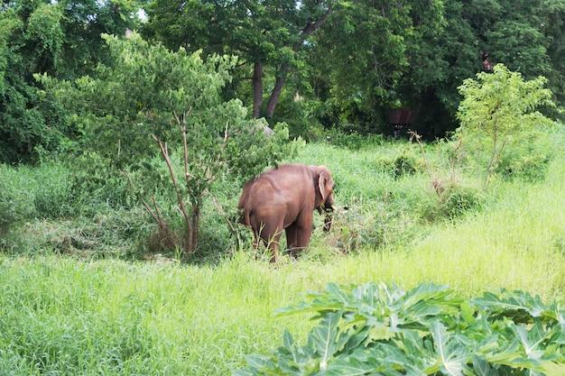 Młody słoń chodzenie w bujnym lesie, jedzenie trawy w ciągu dnia