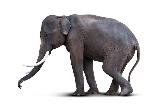Młody słoń na białym tle