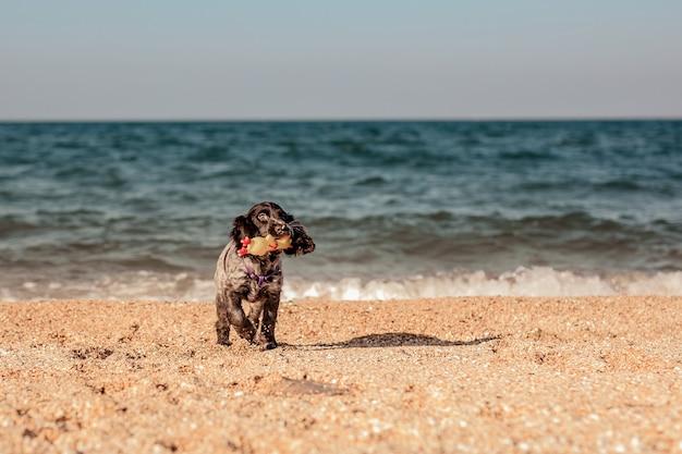 Młody springer spaniel pies bawi się zabawkami na podłodze nad brzegiem morza