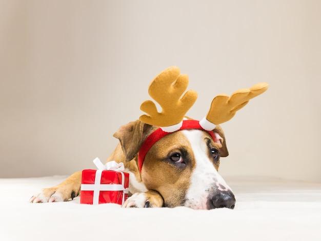 Młody staffordshire terrier pies w boże narodzenie renifery rogi kapelusz z ładny mały czerwony prezent. śmieszne pozy szczeniaka pitbull