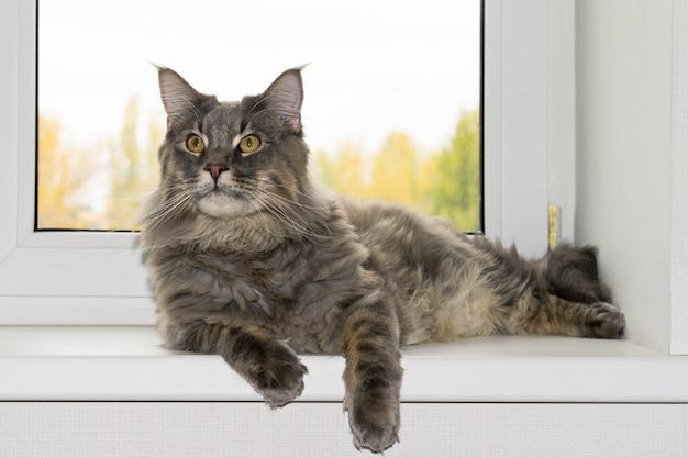 Młody Szary Kot Leży W Oknie Premium Zdjęcia