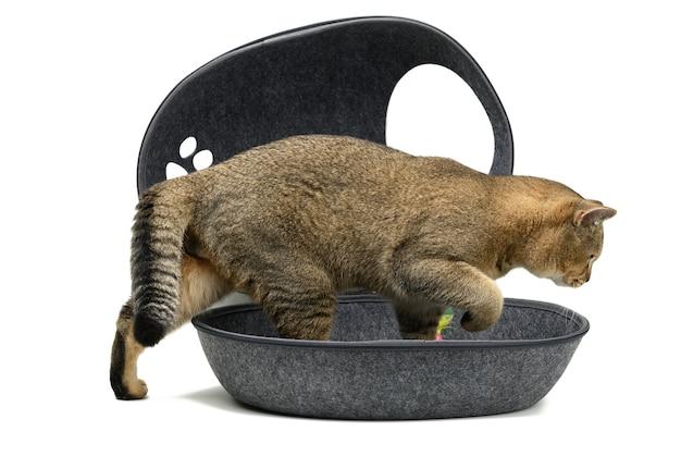 Młody szary szkocki prosty kot szynszyli siedzi w szarym filcowym domu na białej powierzchni. miejsce do spania i odpoczynku