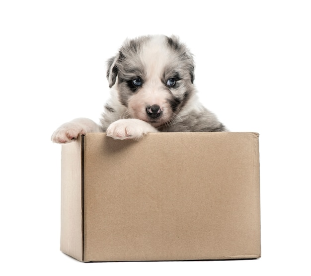Młody szczeniak mieszaniec wychodzi z pudełka na białym tle