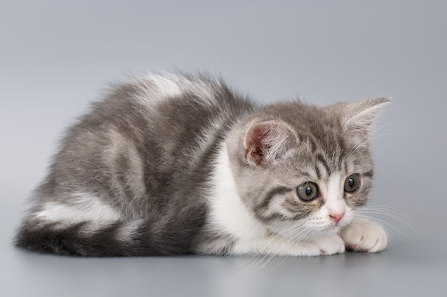 Młody szkocki kot w paski na szarym