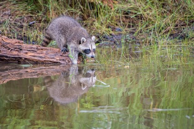 Młody szop czyści swoje łapy w wodzie z odbiciem