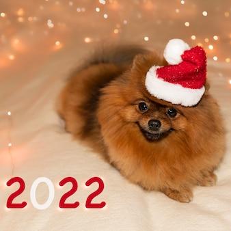 Młody szpic pomorski w noworocznej czapce na miękkim kocu z girlandą i cyrkiem 2022
