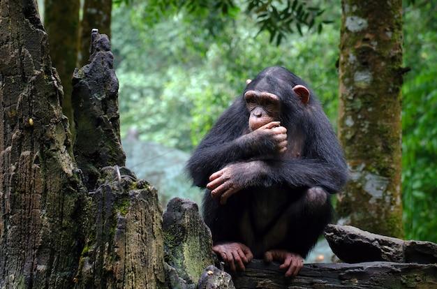 Młody szympans siedzi na skale