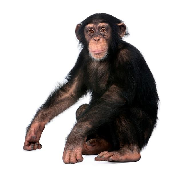 Młody szympans, simia troglodyta, siedzi na bielu odizolowywającym