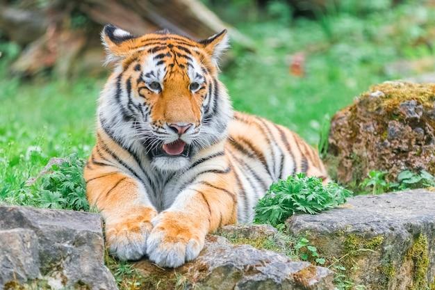 Młody tygrys bengalski leżący na trawie w letni dzień