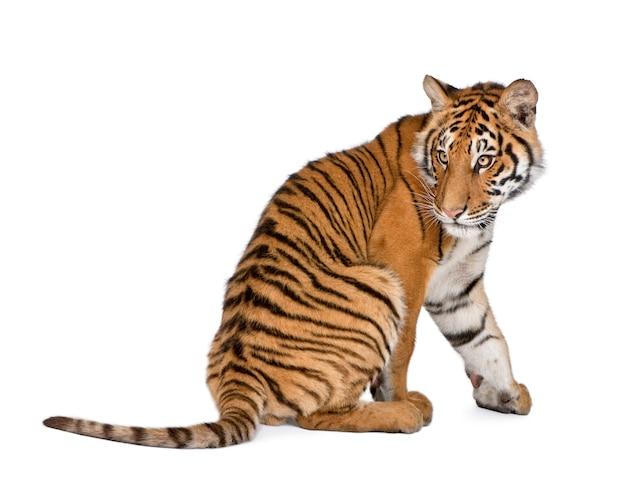 Młody tygrys odizolowywający na bielu