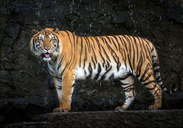 Młody tygrys sumatrzański stojący wśród przyrody.