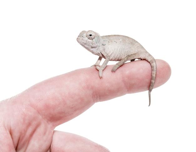 Młody ukryty kameleon, chamaeleo calyptratus, na białym tle