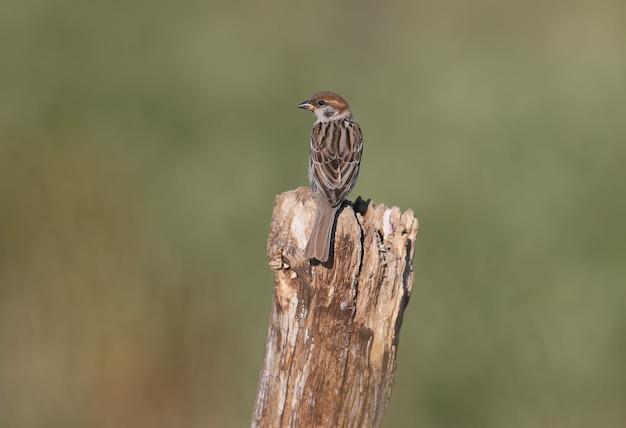 Młody wróbel (passer montanus) siedzi na gałęzi