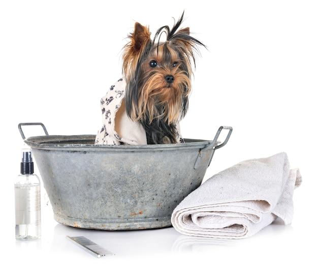 Młody yorkshire terrier i kąpiel