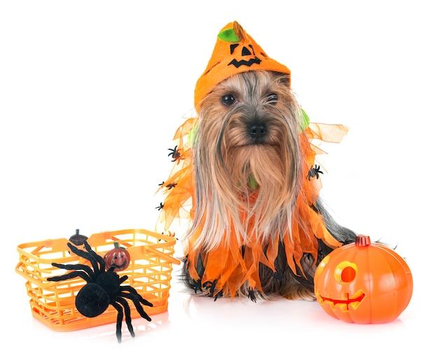 Młody yorkshire terrier
