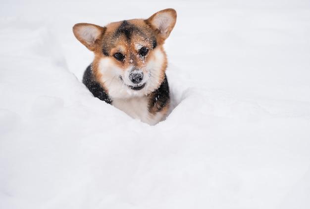 Młody zabawny trzy kolory walijski corgi pembroke siedzieć w śniegu w zimie. patrząc w dół. pies. wysokiej jakości zdjęcie