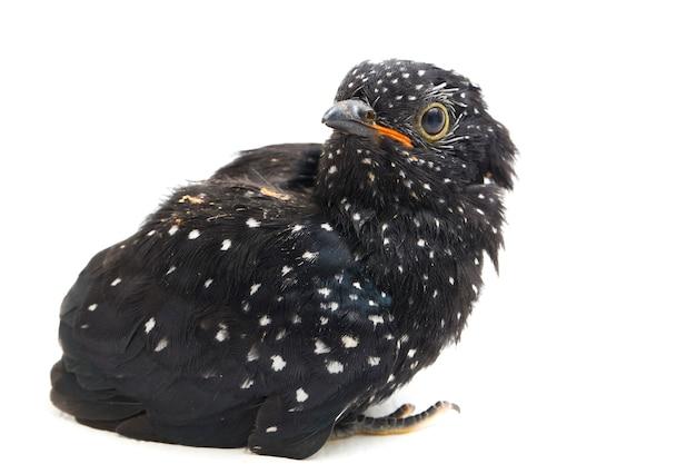 Młody żałosny ptak kukułki