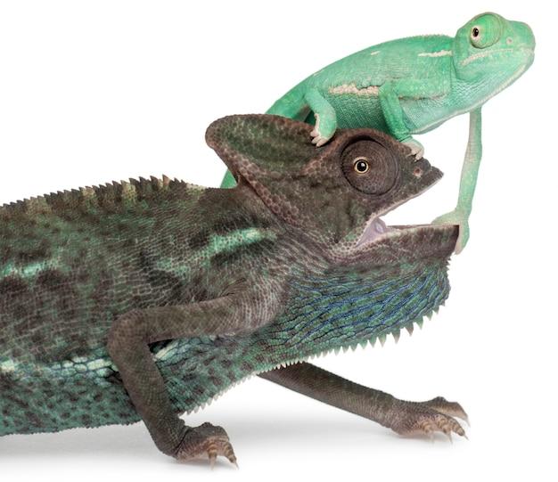 Młody zawoalowany kameleon, chamaeleo calyptratus na głowie starszego