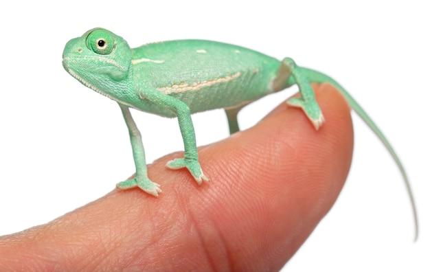 Młody zawoalowany kameleon, chamaeleo calyptratus na palcu
