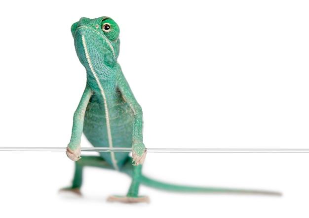Młody zawoalowany kameleon, chamaeleo calyptratus trzyma sznurek