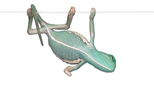 Młody zawoalowany kameleon, chamaeleo calyptratus wisi na sznurku