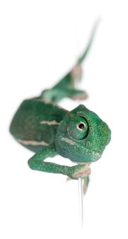 Młody zawoalowany kameleon, chamaeleo calyptratus wspinający się po sznurku