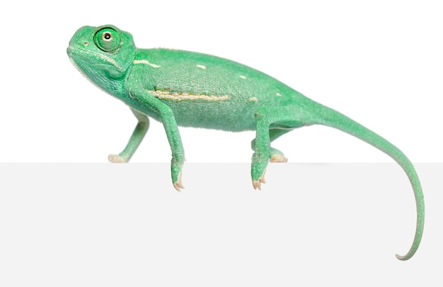 Młody zawoalowany kameleon, chamaeleo calyptratus