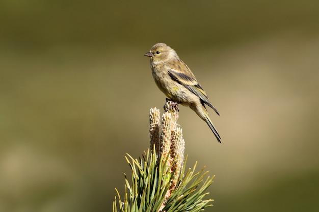 Młody zięba cytrynowego, ptaki, wróblowaty, ptak śpiewający, zięba, cytryna, carduelis citrinella