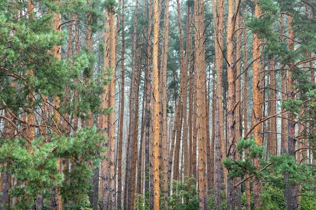 Młody zielony jasny las brzozowy. tekstura. streszczenie tło naturalne.