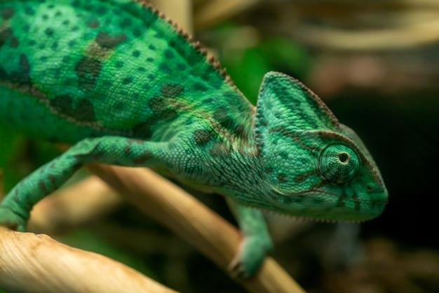 Młody zielony kameleon na gałęzi. słodkie zwierzątko. ubarwienie ochronne zwierzęcia.