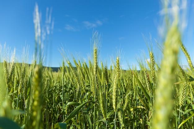 Młody zielony kolec pszenicy na tle błękitnego nieba. zielone kłoski pszenicy.podróż do gruzji