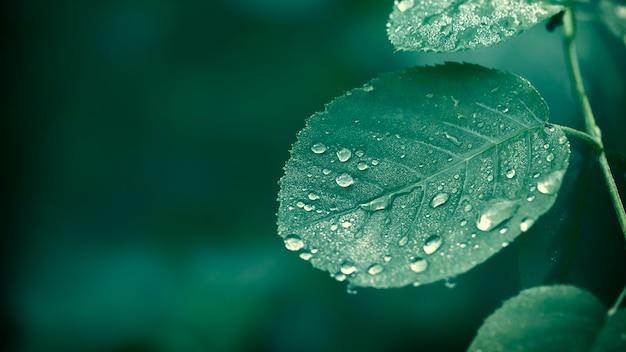 Młody zielony liść róży selective focus