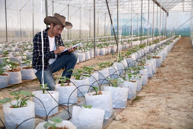 Młody zielony melon lub kantalupa rosnące w szklarni