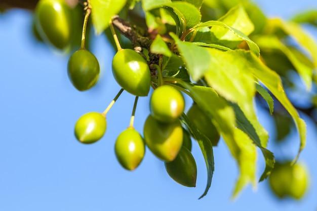 Młody zielony owoc śliwki na drzewie, błękitne niebo.