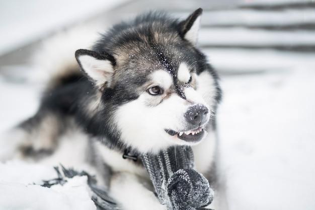 Młody zły pies alaskan malamute w szarym szaliku leżącym w śniegu. zimowy. szeroki uśmiech.