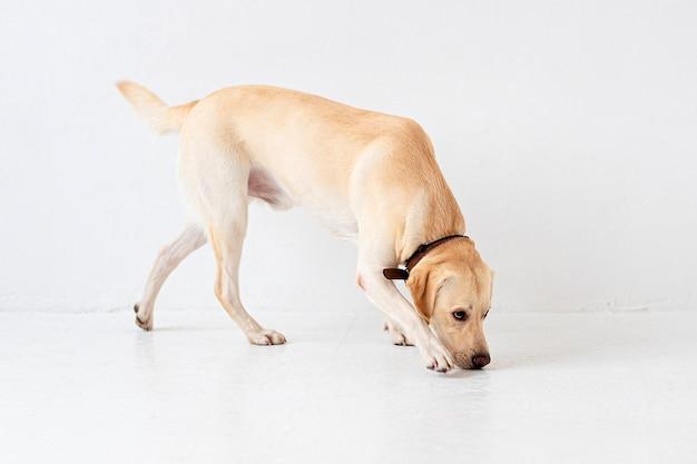 Młody żółty labrador retriever wąchający podłogę. widok z boku, portret psa, studio