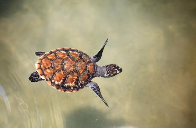 Młody żółw morski pływający w basenie dziecięcym w centrum hodowli.