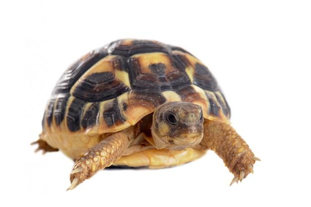 Młody żółw