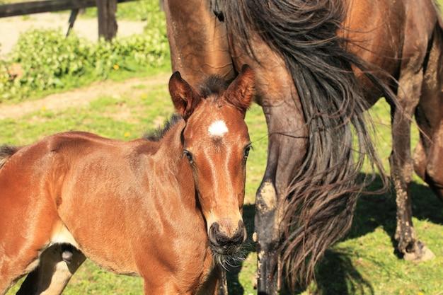 Młody źrebak z matką w polu na wiosnę
