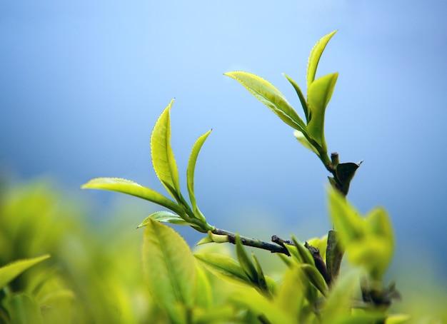Młodzi herbaciani liście w ogródzie
