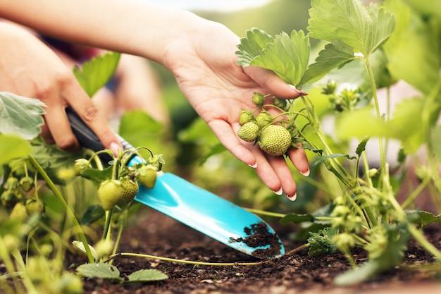 Młodzi ludzie uprawiający truskawki na swoim podwórku