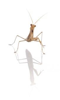 Młodzieńcza modliszka (mantis religiosa) na białym tle
