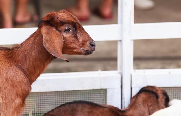 Młodzieńcze kozy dzieci za białymi płotami