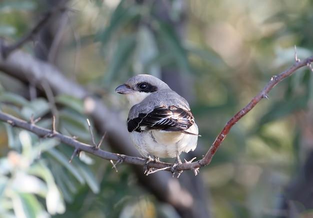 Mniejszy szary dzierzba (lanius minor) ptak siedzi na gałęzi i patrzy w kamerę. zaczerpnięte z tyłu